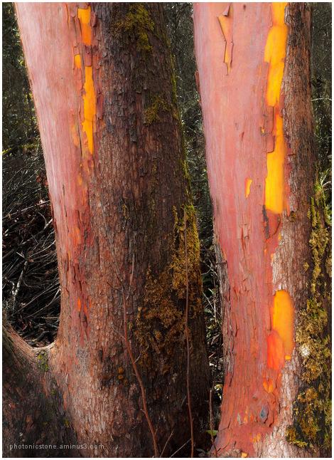 Camassia Park - Uncommon Tree #1