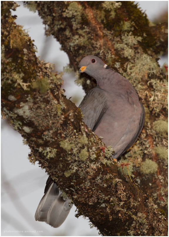 Spring Plumage 2 - Band Tailed Pigeon