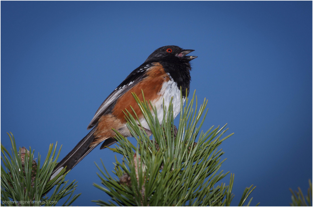 Spring Plumage 5 - Spotted Towhee