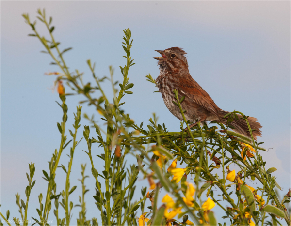 Song Sparrow .. singing
