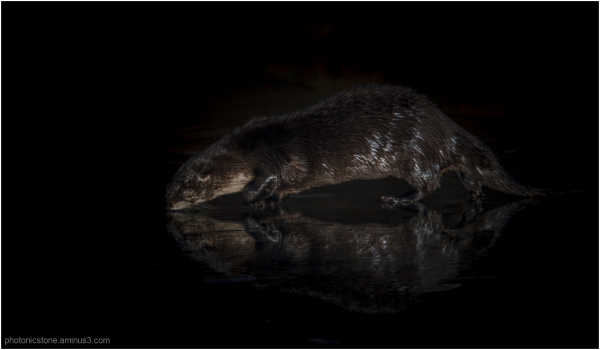 Iced Otter