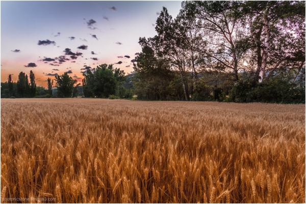 Spanish Wheat - near La Alcarria