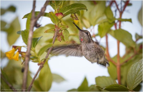 Anna's Hummingbird..
