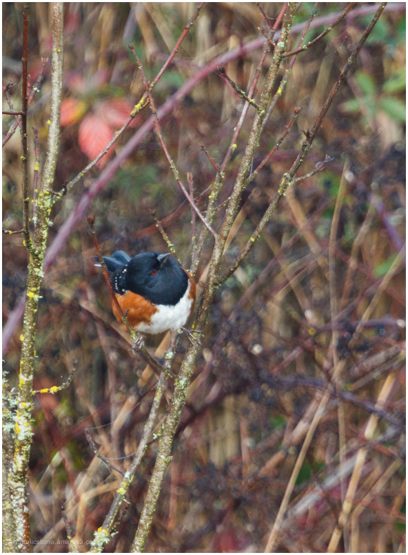 Towhee to end the year