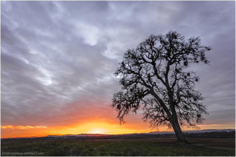 Pacific White Oak