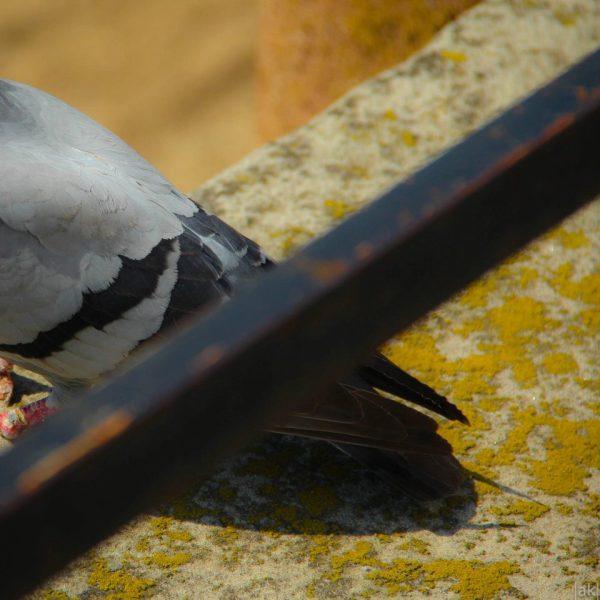 oiseau pigeon