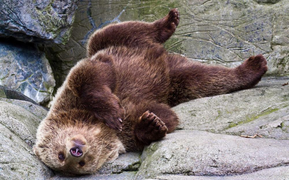 A bear @ the Zoo in Copenhagen