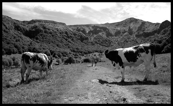 Vaches à l'entrée de la vallée de Chaudefour