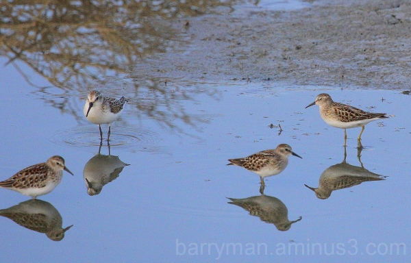 western and least sandpipers