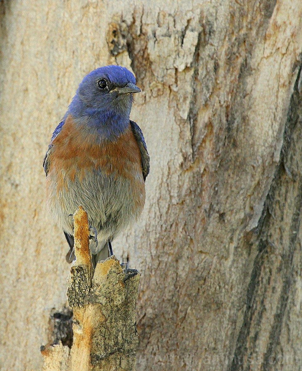 Western bluebird bird adult