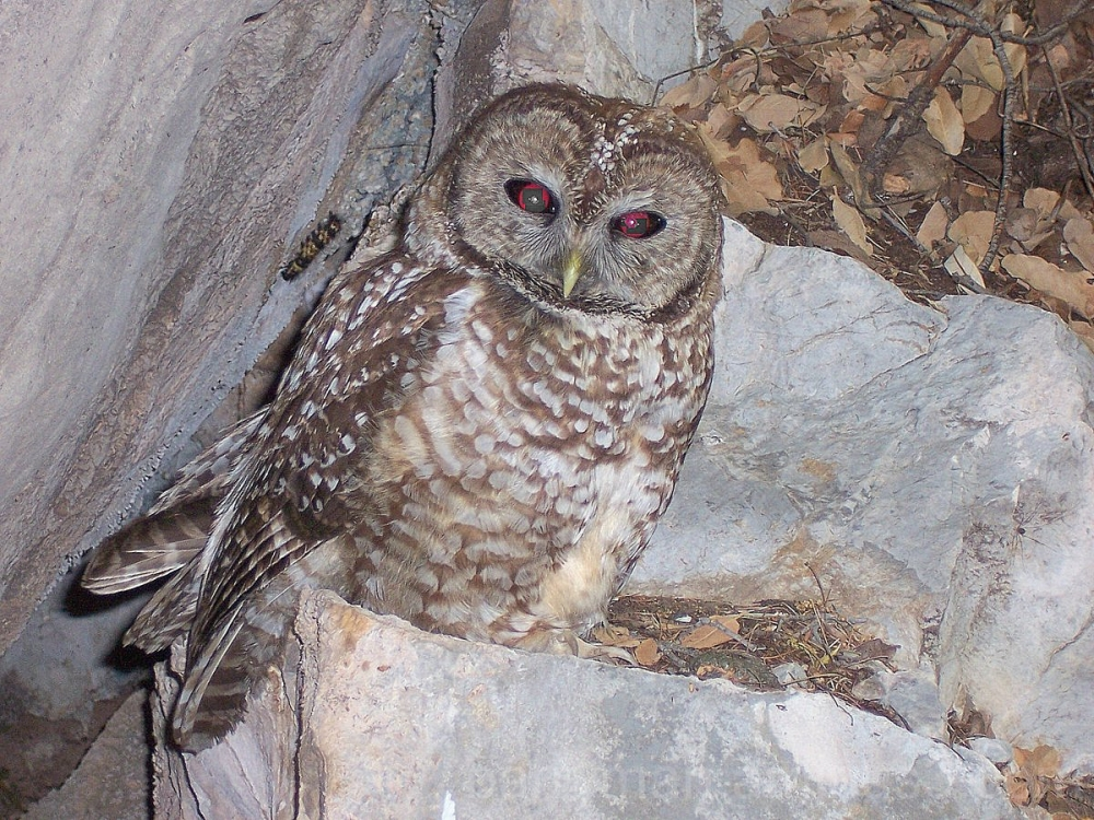 spotted owl bird scheelite canyon fort huachuca ar