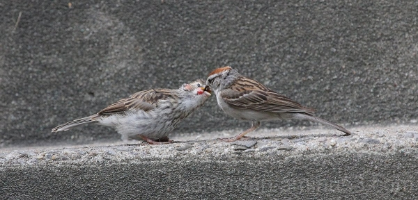 chipping sparrow adult and juvenile avian pox