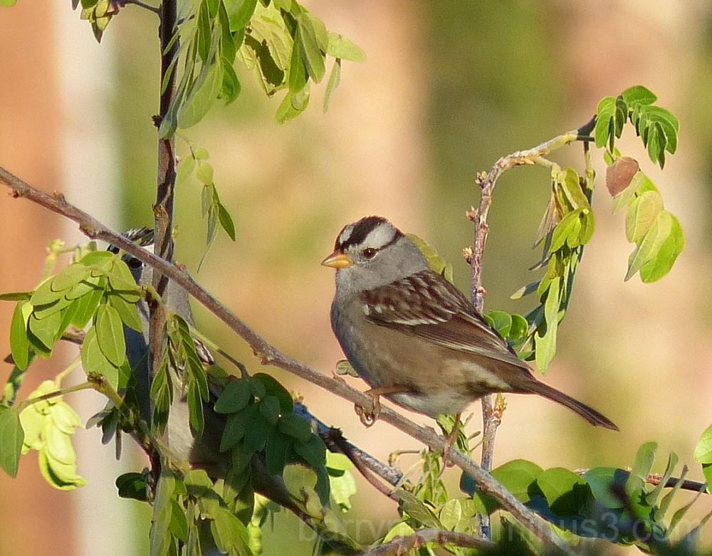 bird white-crowned sparrow
