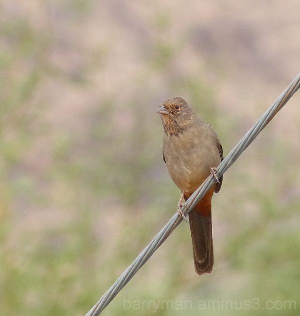 bird california towhee