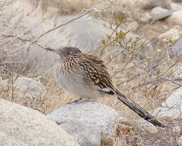 bird greater roadrunner