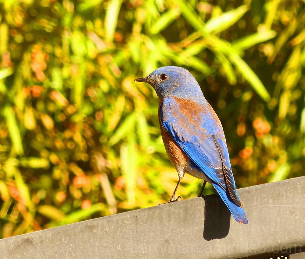 bird western bluebird