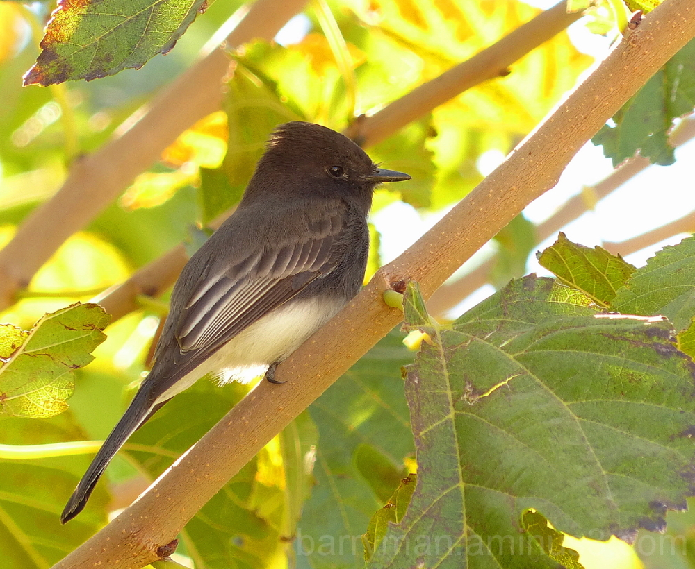 bird black phoebe