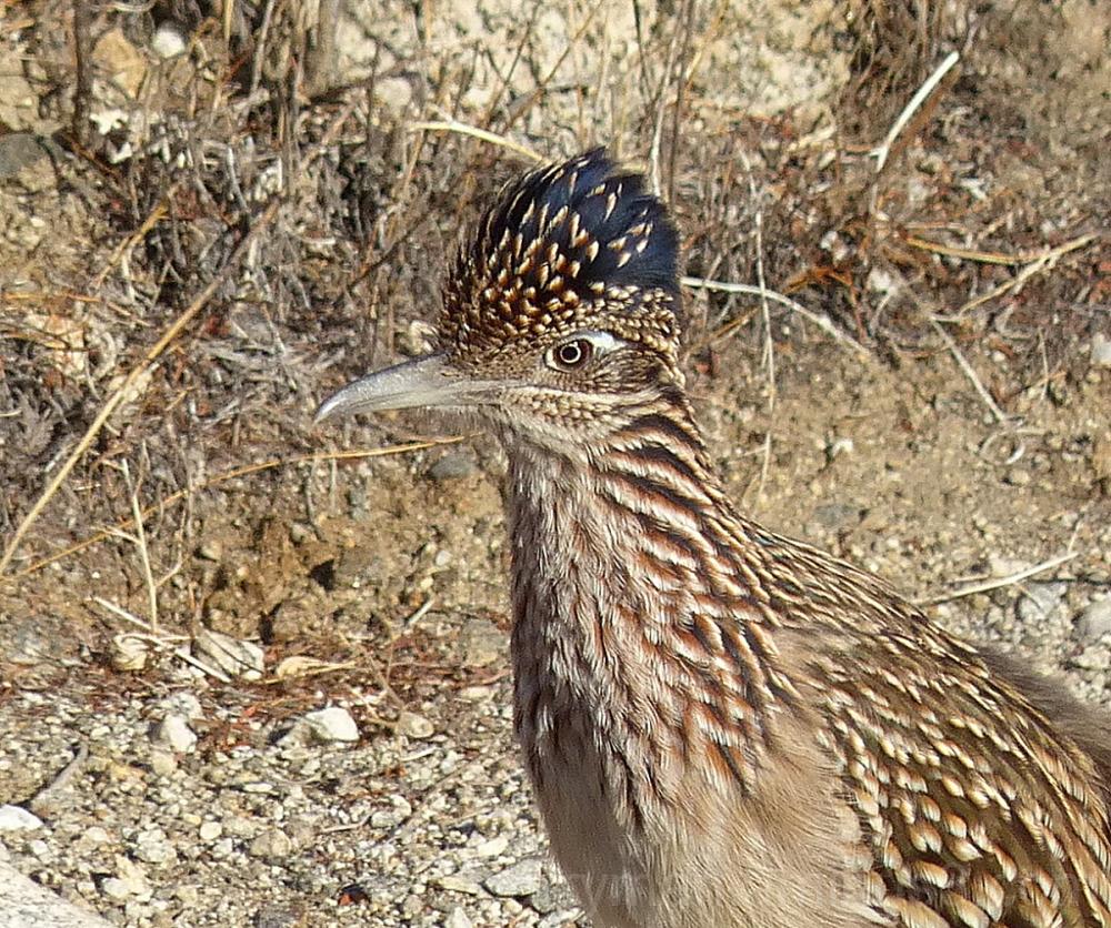 bird greater roadrunner