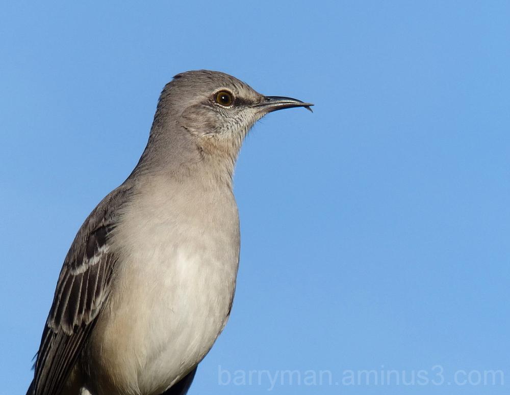 northern mockingbird deformed bill