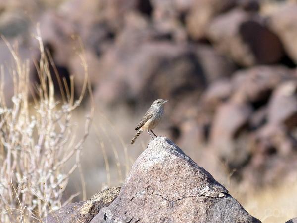 bird rock wren