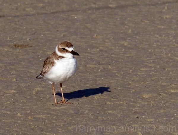 bird shorebird Wilson's plover tigertail beach Fl.