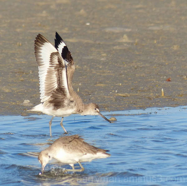 willet bird marco island florida
