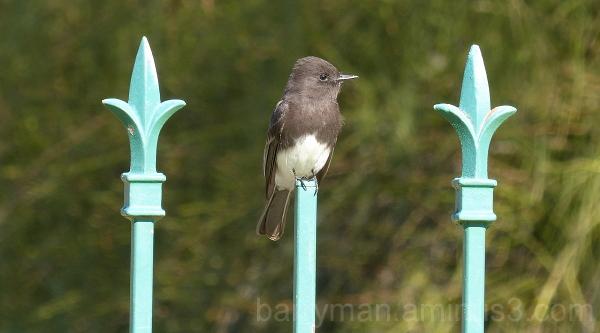 bird black phoebe finial