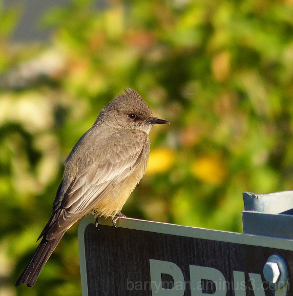 bird flycatcher Say's phoebe