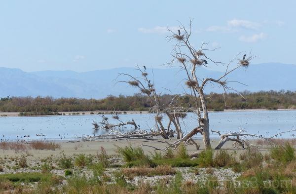 bird great blue heron rookery