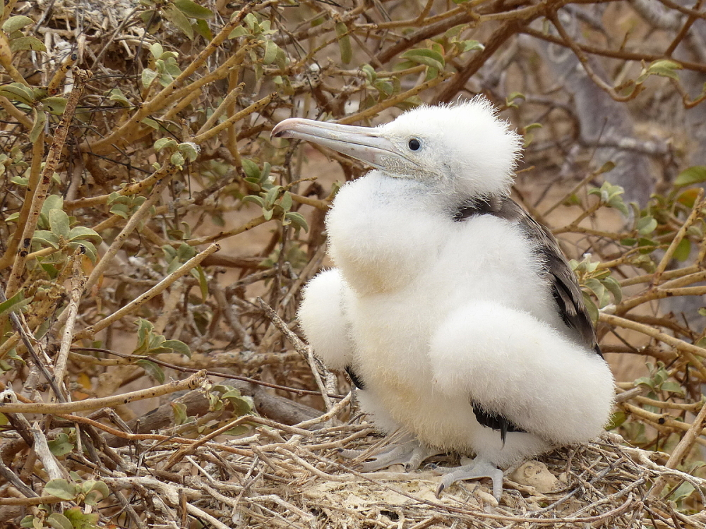 bird magnificent frigatebird chick galapagos