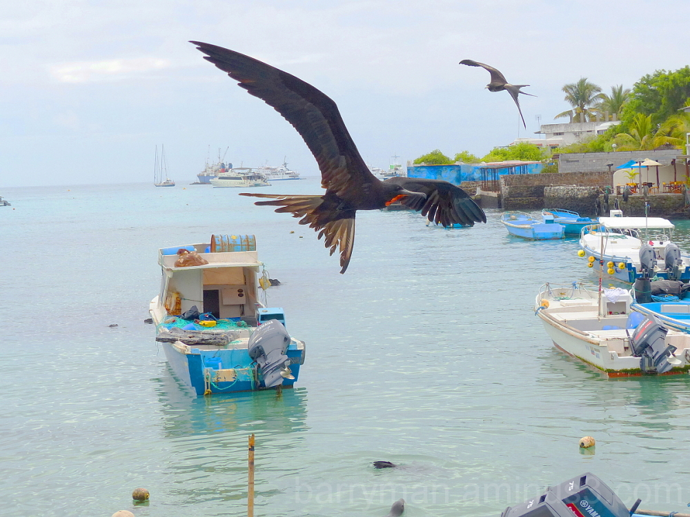 frigatebirds birds galapagos harbor