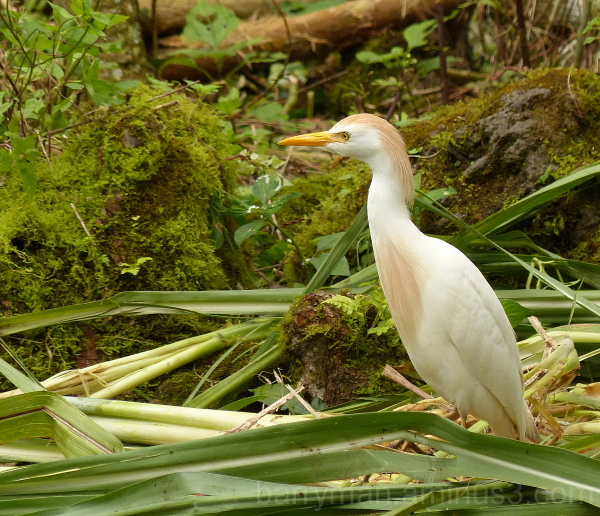 bird cattle egret galapagos
