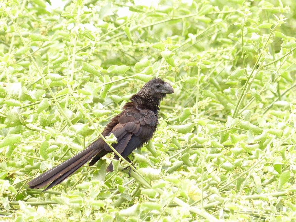 bird smooth-billed ani galapagos