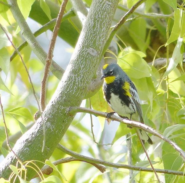 bird yellow-rumped warbler audubon