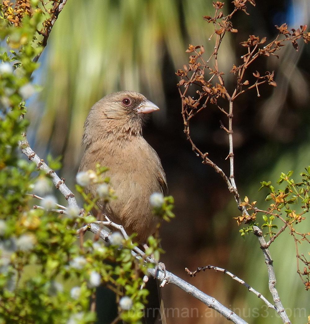 abert's towhee bird