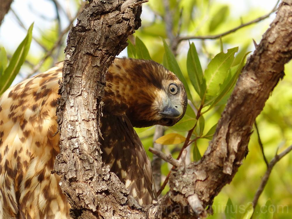 galapagos hawk bird