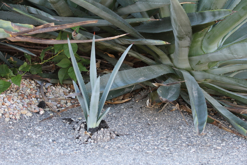 life finds a way agave