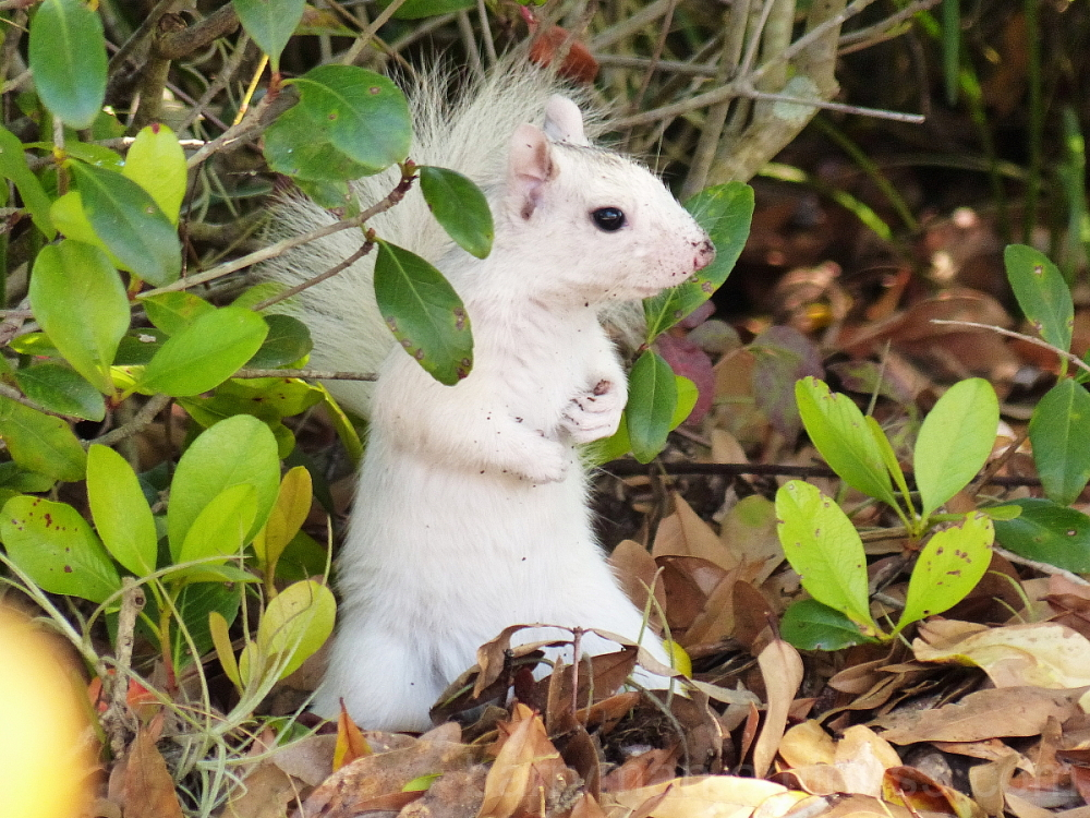 white eastern gray squirrel