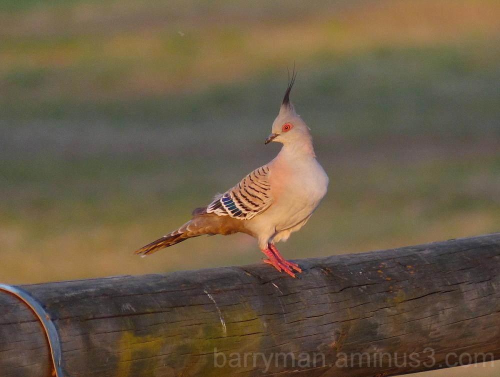 bird crested pigeon australaia