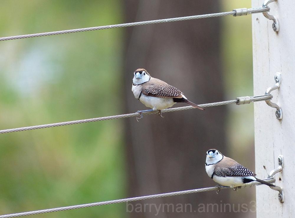 bird double-barred finch australia