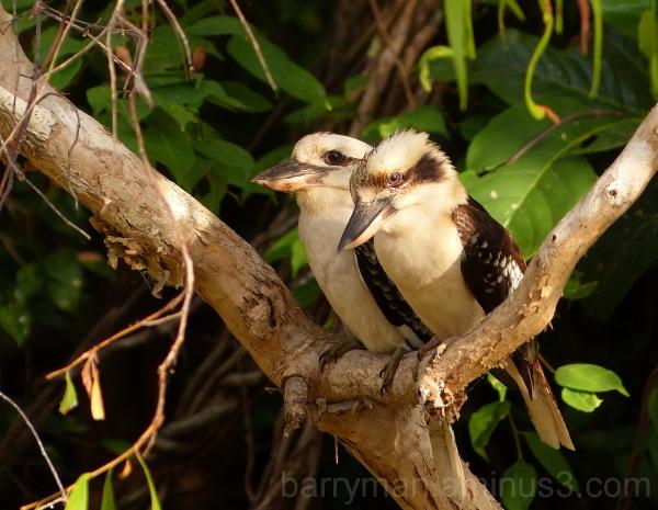 bird australia laughing kookaburra