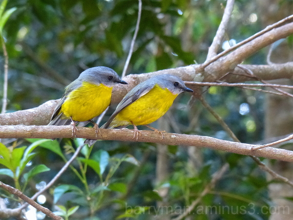 bird australia eastern yellow robin