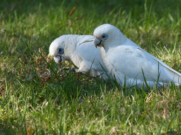 bird australia queensland little corella