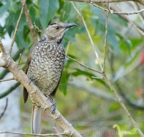 bird regent bowerbird   lamington park queensland