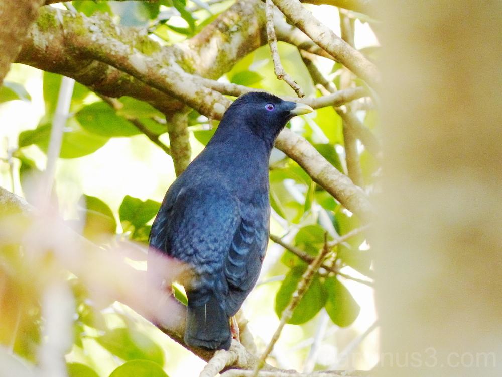 satin bowerbird bird lamington national park queen