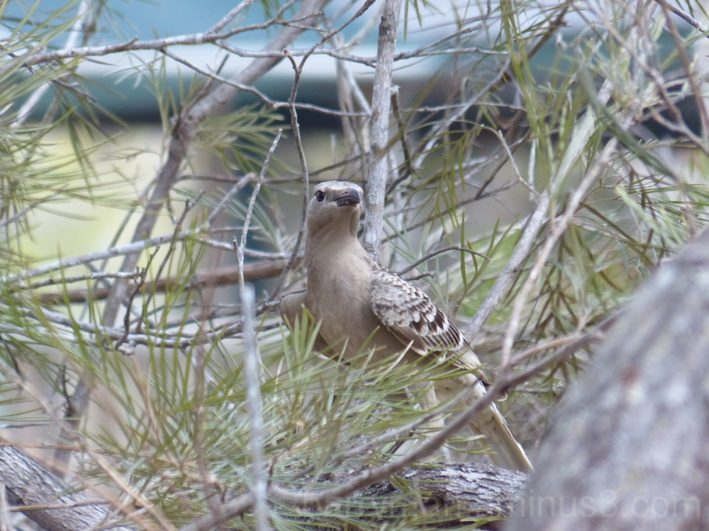 bird great bowerbird queensland australia
