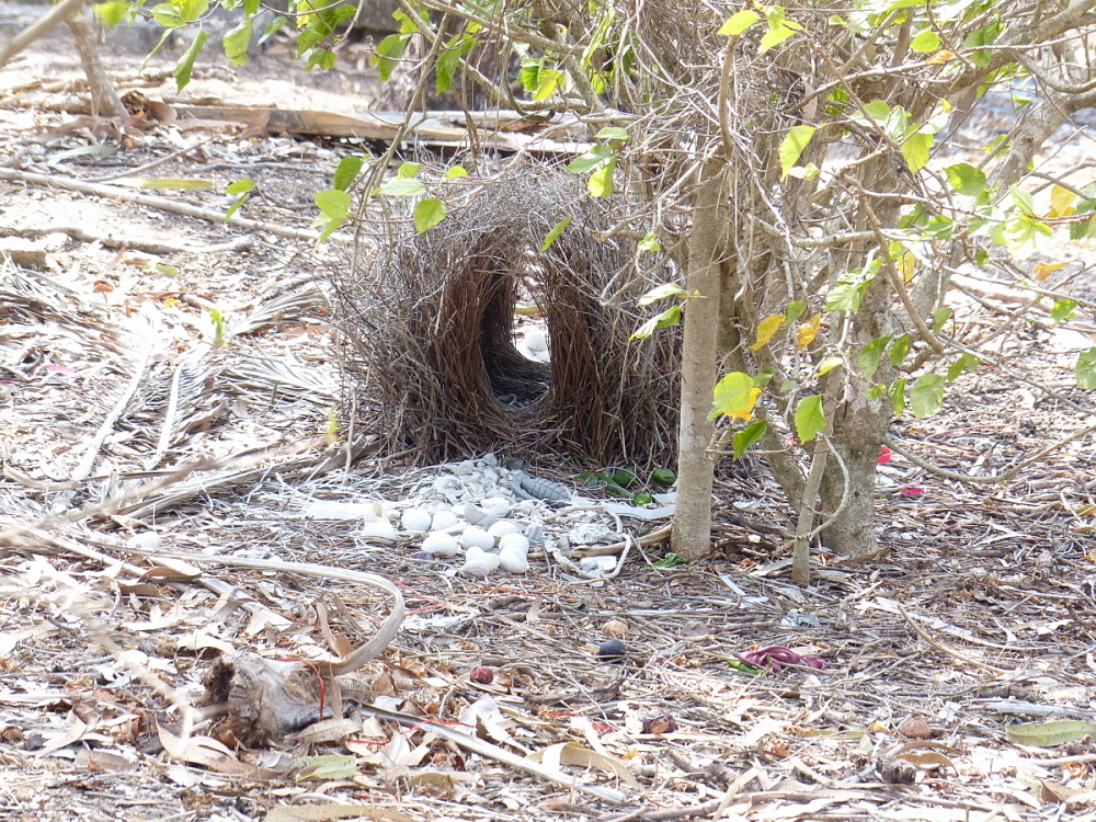 great bowerbird bower queensland