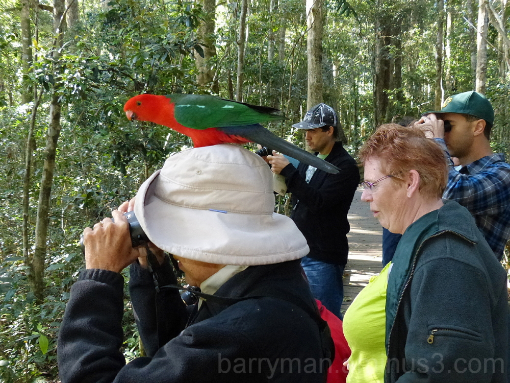 australian king parrot birder