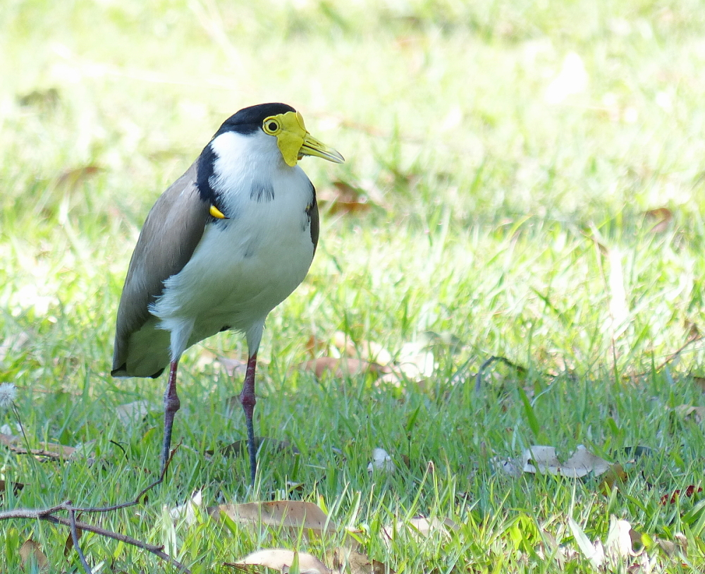 masked lapwing queensland