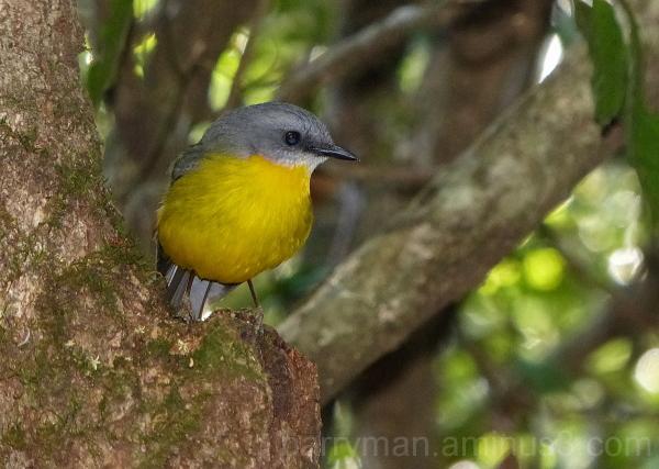 eastern yellow robin queensland